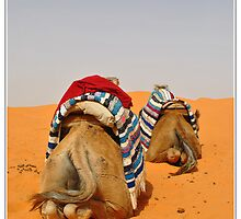 camels by kippis