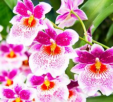 Cattleya White And Pink Orchids by daphsam