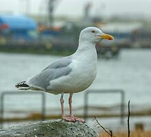 Adult Herring Gull In Breeding Plumage by VoluntaryRanger