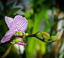 Orchid Mania by Randy Hill