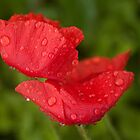 Poppies in the rain by hpelly31