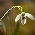 Snowdrop by cclaude