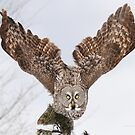 Great Grey Owls by Heather King