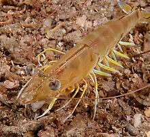 Eastern King Prawn, Sydney Harbour by Erik Schlogl