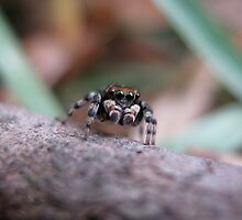Once Upon a Jumping Spider by TranceNova