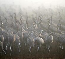 large flock of Common crane by PhotoStock-Isra