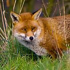 fox in the grass by brett watson