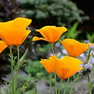 Orange poppies by DebbyScott