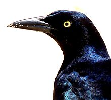 Great-Tailed Grackle (Male) by Barnbk02