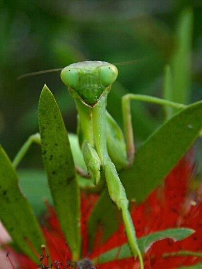 Praying Mantis by Jplatt