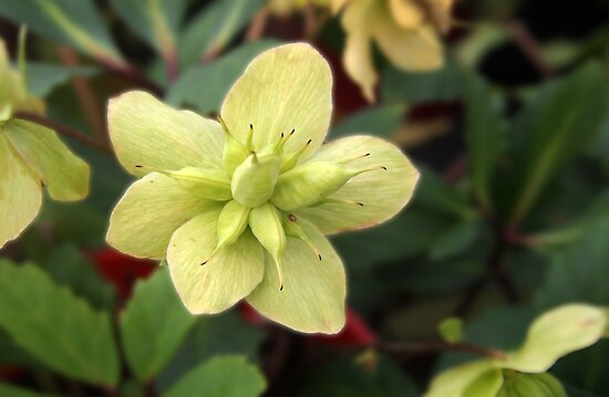 Helleborus by Linda  Makiej