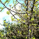 Japanese Pear Tree in the Sun by PrettyLilly