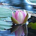 Waterlily Reflections by Michelle Ricketts