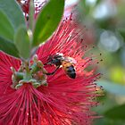 Bee In A Bottlebrush by Paul Halley