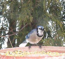 Blue Jays...strike one! by MarianBendeth