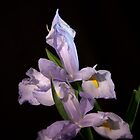 Double Iris Beauty by Deborah McLain