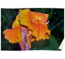 Orange Canna Lily Blossom Poster