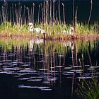 Ludwig & Ludwigess - Swans Nesting - Weißensee - Bavaria by PeachPark