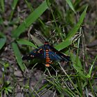Dark Blue and Orange Butterfly by Paul Halley