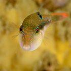 Bennett's Pufferfish - Canthigaster bennetti by Andrew Trevor-Jones