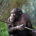 Chimpanzee by Norma Cornes