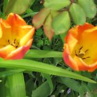 Tulips 2 Toned Red Yellow by CreativMichelle