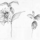 Lenten Rose by Barbara Wyeth