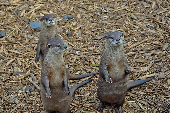 Otters waiting for their dinner by Andicurrie