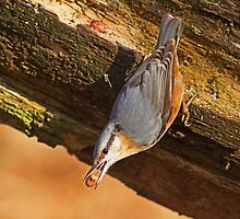 Nuthatch I by LouiseMorris08