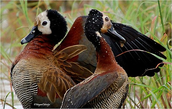 WHITE-FACED DUCK - Dendracygna viduata – Nonnetjie-eend by Magaret Meintjes