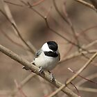 Black capped chickadee by Debbie Drew