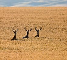 Mule Deer in Wheat Field by pictureguy