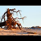 Uprooted Tree - Smith Point Country Park Beach - Fire Island, New York by © Sophie Smith
