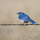 Mountain Bluebird: Fence Line by John Williams