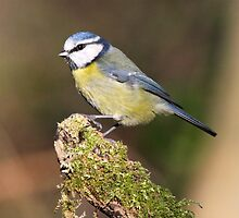 Blue Tit by dilouise