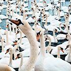 Mostly swans by Greg  Walker