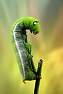 Hawkmoth caterpillar by jimmy hoffman