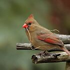 Cardinal Nest Building by Debbie Oppermann