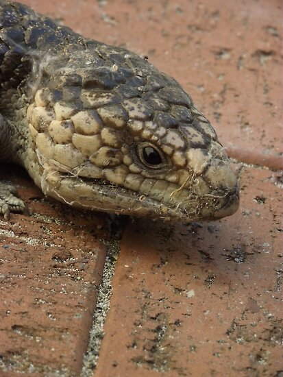 Blue Tongue Lizard, up close and personal! by SezziT