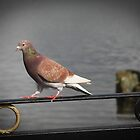 Pigeon on the fence by emilyx93