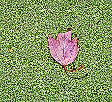 Maple Leaf (HDR) by Jeff Ore