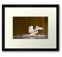 Swan Landing Framed Print