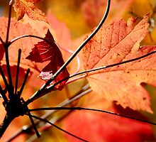 Manitoba Maple Leaf II by EelhsaM