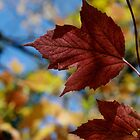 Manitoba Maple Leaf III by EelhsaM