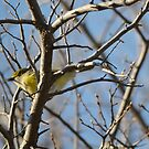 White-eyed Vireo by Kate Farkas