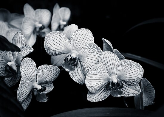 Orchids in Monochrome by Peta Thames