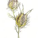 Love in the mist seed pod by thedrawingroom