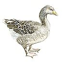 Common Goose by thedrawingroom