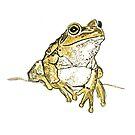 Motorbike frog by thedrawingroom