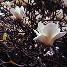 Magnolia denudata by Rodney Johnson